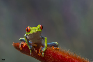 Red- eyed Leaf Frog