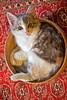 A perfect bed (Deb Jones1) Tags: portrait pet cats pets animal cat canon outdoors kitten feline kitty australia flickrduel debjones1