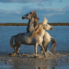 the dance (delikizinyeri) Tags: horses france marsh fighting camargue