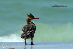 Red-breasted Merganser (Mergus serrator) (Sharon's Bird Photos) Tags: florida birding fortdesoto redbreastedmerganser mergusserrator pinellascounty explored newlifer exploredmarch232012