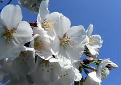 DC Cherry Blossoms (Vicki's Pics) Tags: flowers blue sky white washingtondc spring cherryblossoms hainspoint