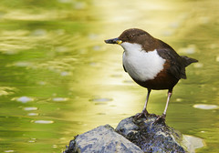 Dipper With Caddisfly EXPLORED (Alistair Prentice.) Tags: county bird nature river spring pentax wildlife sigma 150 500 dipper armagh kx portadown explored