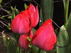 Tulips (wemale) Tags: flowers spring tulips olympus vivitar 43rd e500 43adapter pentaxlenses