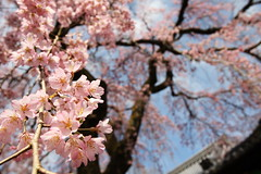 Spring in Kyoto (Teruhide Tomori) Tags: pink flower japan garden cherry temple spring kyoto blossom 京都 日本 sakura 春 醍醐寺 daigoji shidarezakura