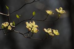 Dogwood Blossoms (lanaganpm) Tags: plantsandfungi