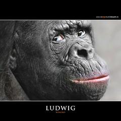 LUDWIG (Matthias Besant) Tags: look animal animals mammal deutschland monkey tiere eyes hessen looking ape monkeys augen mammals apes fell blick bonobo tier affen affe primat schauen pygmychimpanzee hominidae blicken primaten saeugetier saeugetiere menschenaffen hominoidea trockennasenaffe zwergschimpanse menschenartige mygearandme blinkagain affenfell menschenartig highqualityanimals flickrsfinestimages1 flickrsfinestimages2 flickrsfinestimages3 matthiasbesantphotography matthiasbesant