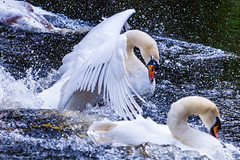 Rage (Steve-h) Tags: park ireland dublin nature water birds canon lens eos droplets drops wings pond power