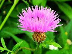 Pink Blossom (careth@2012) Tags: flowers pinkflower simplyflowers