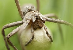 Nursery Web Spider (Pisaura mirabilis) (MentalBloc16) Tags: wood uk flowers blue trees sunset red wild summer england blackandwhite white black flower macro green english nature beautiful beauty field grass closeup canon woodland bug garden insect spider blackwhite spring amazing woods europe european bokeh britain wildlife web nursery lancashire stunning environment common mirabilis nurserywebspider canon500d pisaura pisauramirabilis canoneos500d