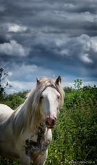 handsome (mahvelousmagicunicorn) Tags: uk horses horse canon powershot pony equine lightroom g12 thorne