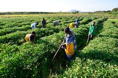 RTB East Africa1-99 (CIAT International Center for Tropical Agriculture) Tags: tanzania kenya uganda eastafrica ciat rtb cgiar rootstubersbanana