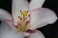 Asian Lily Close Shot (everaloft) Tags: pink pistil closeshot asianlily 2012
