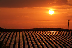 Scotland's sunset stripes (jillyspoon) Tags: light sunset orange sun field canon evening scotland wire force farm stripes farming stripe grow warmth pole plastic agriculture telegraph striped 70200mm sooc 60d canon60d