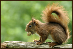 Squirrel (Jan Visser Renkum) Tags: squirrel tick ruurlo teek eekhoorn campingdemeibeek