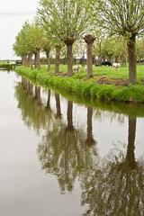 wilgen (Annemieke Prozée) Tags: trees holland reflection green nature water dutch animals groen nederland thenetherlands polder woerden reflectie gerverscop annemiekeprozee