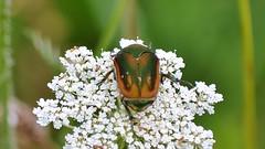 Escarabajo / Beetle :) (jgaviria) Tags: beetle escarabajo escarabajos cucarrones cucarron