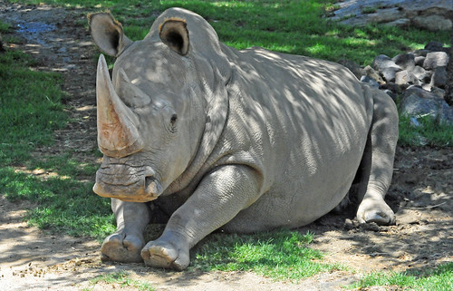 Angalifu the Northern White Rhinoceros m by warriorwoman531, on Flickr