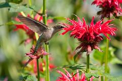 Ruby-throated Hummingbird (sirkillex) Tags: birds bif rubythroatedhummingbird