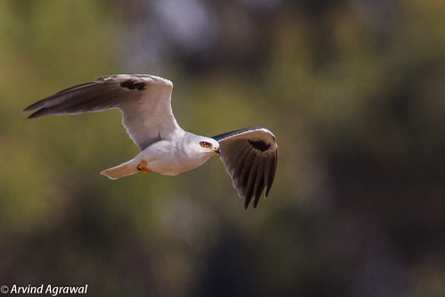 White-Tailed Kite in Flight - IMG_3506