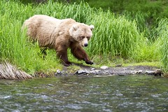 Out Of The Tall Green Grasses She Emerges (MommaD photos) Tags: wild usa nature alaska river outside outdoors fishing nikon natural feeding wildlife bears free northamerica grasses wilderness kenaipeninsula sow russianriver grizzlybears brownbears coth5 tnwaphotography tpsnature