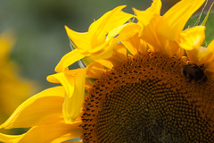 Sunflower (judepics) Tags: uk flower yellow sunflower hertfordshire tournesol hitchinlavender cadwellfarm