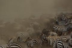 The great Migration (Sallyrango) Tags: africa kenya safari migration gnus wildebeest zebras masaimara eastafrica marariver greatmigration