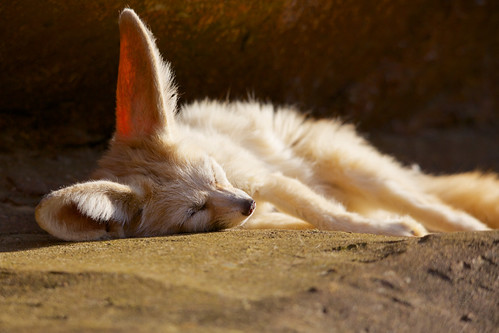 Fennec Fox [Explored]