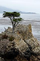 The Lone Cypress Tree (Images by John 'K') Tags: california tree 17miledrive cypress pacificgrove johnk d7000 johnkrzesinski randomok