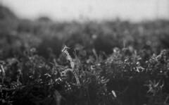 Some Weed (leicaflex sl, 90mm summicron) (PositiveAboutNegatives) Tags: leica sunset blackandwhite bw film analog sundown sl summicron 90mm coolscan leicaflex foma fomapan100 aristaedu endoftheday leitz 11219 leicar leicaflexsl 90mmsummicron nikon9000scanner blackandwhitefilmphotography leicafilmphotography freefilmimages freefilmpictures