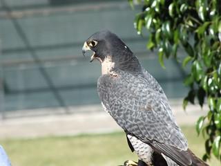 Peregrine Falcon_312