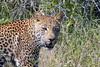 DSC_8658-001 (Arno Meintjes Wildlife) Tags: africa nature southafrica wildlife safari leopard bigcat predator krugerpark big5 arnomeintjes