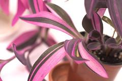 DSC_4092 (nitedojo) Tags: purple heart pflanze tradescantia zimmerpflanze pallida variegata nitedojo