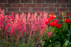 Day Forty Nine / Year Three. (evilibby) Tags: flowers red flower brick garden outside outdoors mas tulips brickwall heuchera tulipa coralbells project365 alumroot