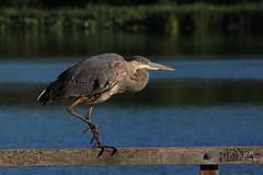 IMG_5632 (TMM Cotter) Tags: blue lake bird heron nature swan bc great victoria ardea sanctuary herodias