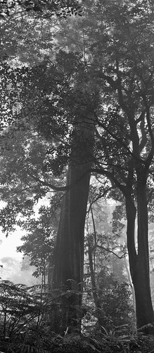 Pohon 200 Tahun (hitam putih)