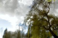 Verkehrte Welt - Trauerweide im Wasser-Spiegel; Schwabstedt-Holbek, Nordfriesland (1) (Chironius) Tags: trees reflection tree germany deutschland weide wasser rboles sauce boom arbres willow rbol alemania albero bume allemagne arbre rvore spiegelung baum trd germania reflexin schleswigholstein wilg salice weiden salix ogie aa yansma  pomie saule  riflessione rflexion  osier  schwabstedt nordfriesland st  salicaceae wasserspiegel  niemcy  rosids malpighiales refleksion   salcio pomienie weidengewchse marsault malpighienartige szlezwigholsztyn  fabids