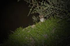 Al acecho pero sin mal rollo (trebol_a) Tags: nocturna muela mamiferos linterna lironcareto