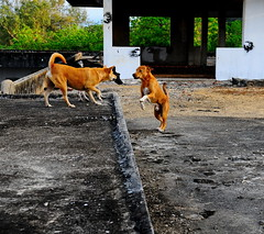 ,, Mama, Legs, Rocky, Roof ,, (Jon in Thailand) Tags: roof dog playing dogs fun jumping nikon hand legs rocky mama jungle nikkor leaping k9 d300 175528 thedogpalace