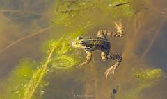 2016-05-06 - 15.47.25 - _L5B2444 - 1 (Rossell' Art) Tags: pad frog toad sapo rana frosch grenouille kikker rano bufo r krte crapaud  rospo doodebemde batracien