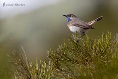 Ruiseor pechiazul (Luscinia svecica) (jsnchezyage) Tags: naturaleza bird fauna ngc birding npc ave lusciniasvecica ruiseorpechiazul