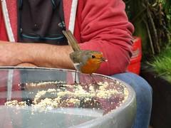Tame Robin (Eire's Gorgeous Golden Gorse representative) Tags: ireland irish bird robin fauna garden table feeding outdoor cork newmarket tame beautifulnature hww canonixus170 2016onephotoeachday