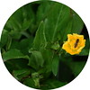 Marsh marigold (Roger Bunting) Tags: feeder worksop marshmarigold chesterfieldcanal kingcup