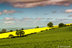 Fields Of Gold 137/366 (crezzy1976) Tags: uk blue england plant green field grass yellow clouds landscape gold countryside nikon cheshire outdoor bluesky photoaday fields 365 grassland day137 rapeseed tattenhall d3100 crezzy1976 photographybyneilcresswell 366challenge2016