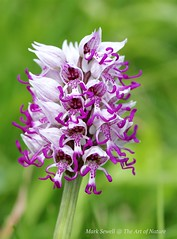 Kents Monkey Orchid - Orchis simia (favmark1) Tags: kent orchids faversham wildorchids monkeyorchid orchissimia britishorchids kentorchids favershamorchids