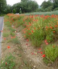 Des pavots  perte de vue (berjun) Tags: fleurs pavots