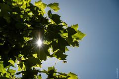 1Mois 1 Thme, juin 2016 Contre-jour (beatricedrevon) Tags: soleil arbres feuillage 1thme1moisjuin2016contrejour