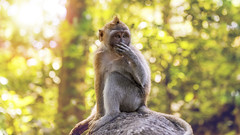 Bali Forest (lance mills) Tags: trees bali sun rock forest indonesia monkey golden bokeh monkeys