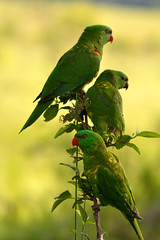 scaly crested Lorikeets (awalkintothefray) Tags: nature birds birdwatching wilderness wildman naturephotography photographer nikon colourful beauty love animals lorikeets sunshinecoast
