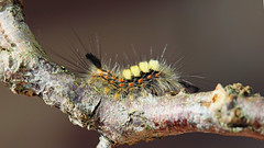 Vapourer Moth.  Sometimes called 'Rusty Tussocks' (jaytee27) Tags: vapourermothcaterpillar naturethroughthelens