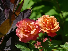 In my garden (lovesdahlias 1) Tags: roses coggyria gardens flowers blossoms foliage nature summer newengland rul